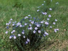 Linum lewisii (Wild blue flax)