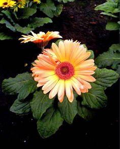 Como cuidar de Gerberas. As Gerberas são plantas floríferas nativas da Africa do…
