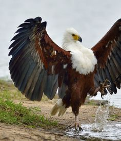African fish eagles are found throughout SubSaharan Africa and the closest living species appears to be the Critically Endangered Madagascar fish eagle and palm-nut vulture. (Jacobus de Wet)