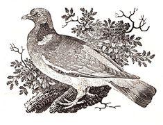 The Collared Dove | Thomas Bewick