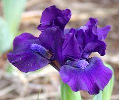 SDB Iris germanica 'Bee Mused' (Black, 1997)