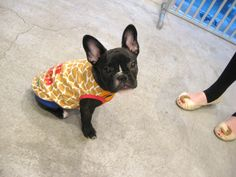 Mr. Jiro, French Bulldog