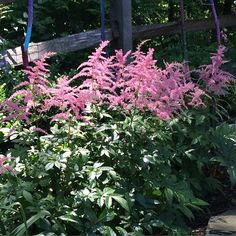 The feathery plumes of astilbe work beautifully in borders with dappled sunlight. Blogger Kate of Gardening and Gardens shares lovely pictures of astilbe in her Long Island, NY garden.