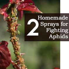 2 Homemade Sprays for FightingAphids
