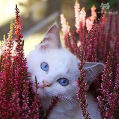 This is my ragdoll kitten Phelia posing so nicely in the flowers :)