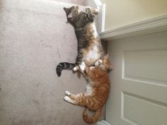 cat-overload:    Brock and Brandi are my two inseparable rescued litter mates (cute animals)