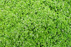 Mentha requienii  Corsican Mint  Wonderful, mat forming groundcover that features tight green, aromatic foliage. Tiny lavender flowers in summer. Plant as a lawn substitution or between stones so that the gentle scent of mint is released when walked on. Excellent for front entryways and back patios. Will take moist areas as well as normal landscape scenarios and will reseed easily in the garden.