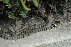Äskulapnatter (Zamenis longissimus) #snake #trauttmansdorff