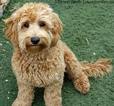 Upcoming Multigenerational Australian Labradoodle Litters at Desert Winds Labradoodles