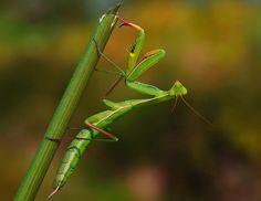 Louva-a-deus / Praying mantis. Peneda-Gerês National Park > Portugal