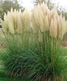 Inexpensive landscaping Ideas to Transform Your Yard Inexpensive Landscaping, Plants, Garden, Grasses Garden, Grasses Landscaping, Pampas Grass, Grass, Outdoor Gardens, Landscaping Plants