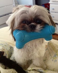 Hank and his blue bone. My shih tzu.