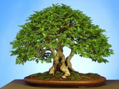 Bonsai art-Art of bonsai pictures-Bonsai trees pictures- Bonsai is the art of aesthetic miniaturization of trees, or of developing woody or semi-woody plants Mini Bonsai, Indoor Bonsai, Bonsai Plants, Bonsai Ficus, Indoor Plants, Bonsai Seeds, Tree Seeds, Mini Plantas, Plantas Bonsai