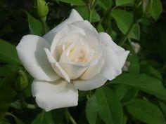 Iceberg Floribunda     A Vision In White – White Roses In Bloom This Week | The Redneck Rosarian