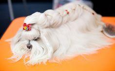 penteados tranças para poodles - Pesquisa Google