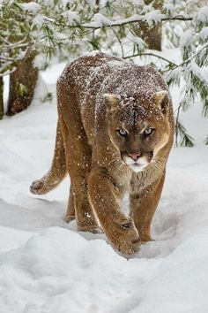 A Cougar Walks in Fresh Fallen Snow; Snow Still Lightly Falls, a Faint Layer is Seen on His Back.
