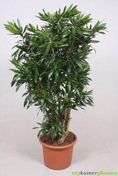 Dracaena Reflexa (Drachenbaum) kaufen? - 123zimmerpflanzen