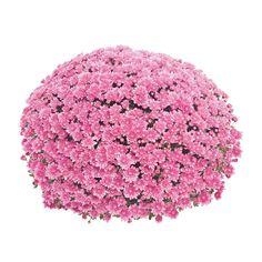 Frilandskrysantemum Diameter 19 cm Rosa | Plantasjen Garden Mum, Plant Nursery, Autumn Trees, Chrysanthemum, Garden Plants, Pretty In Pink, Pink Flowers, Landscape Design, Sprinkles