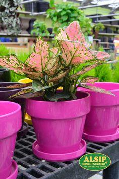valentine plant az