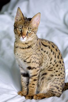 Savannah Cat - a cross between a domestic cat and the Serval, a medium-sized, large-eared, wild African cat. The unusual cross became popular among breeders at the end of the 90s, and in 2001 the International Cat Association accepted it as a new registered breed. Savannahs are much more social than typical domestic cats and are often compared to dogs in their loyalty. They can be trained to walk on a leash and taught to play fetch.