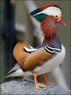 Mandarin Duck -- The species was once widespread in eastern Asia, but large-scale exports and the destruction of its forest habitat have reduced populations in eastern Russia and in China to below 1,000 pairs in each country; Japan, however, is thought to still hold some 5,000 pairs.