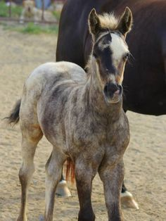 """American Quarter Horses - NOT CHIMERA: KT Gun in a Million was born May 2014 and is a filly """"Stinger.""""' She has been color tested by UC Davis as a smoky black and her brindle coloring cannot be explained by chimerism. Most Beautiful Horses, All The Pretty Horses, Animals Beautiful, Rare Horses, Wild Horses, Horse Photos, Horse Pictures, Brindle Horse, Horse Markings"""