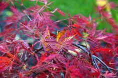 Acer palmatum  Macro photo by karimeijers http://rarme.com/?F9gZi