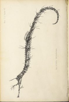 Ribboned pipefish, Proceedings of the Zoological Society of London, Vol 27, 1859.
