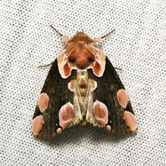 Peach Blossom Moth (Thyatira batis, Thyatirinae, Drepanidae) This looks like a poodle dog on this moth! Beautiful Bugs, Beautiful Butterflies, Amazing Nature, Beautiful Creatures, Animals Beautiful, Papillon Butterfly, Butterfly Wings, Cool Bugs, Moth Caterpillar