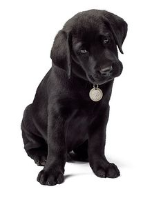 I love black lab puppies