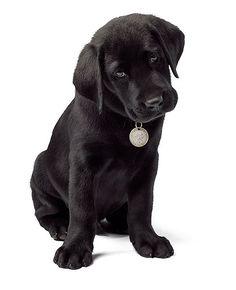 I love black lab puppies