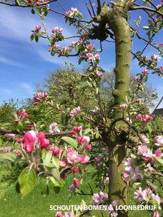 Foto van appelbloesem (Elstar) uit ons assortiment. Voor karakteristieke oude fruitbomen, notenbomen en laan- en sierbomen bent u bij ons aan het goede adres! We hebben oa prachtige oude appelbomen beschikbaar! Oa, Gardening, Flowers, Plants, Lawn And Garden, Plant, Royal Icing Flowers, Flower, Florals