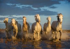 """6 White Horses by Adrian Lines, via 500px. """"Horses of the Carmargue"""""""