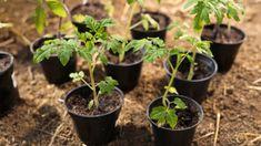 Citronträd – så odlar du citron hemma | Mitt kök Guide, Plants, Lemon, Harvest, Plant, Planting, Planets