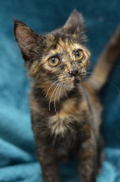 Skittles @Furkids #kitten