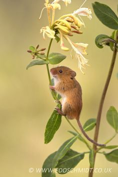 Cute Small Animals, Cute Funny Animals, Animals Beautiful, Animals And Pets, Baby Animals, Country Critters, Pet Mice, Cute Hamsters, Lovely Creatures