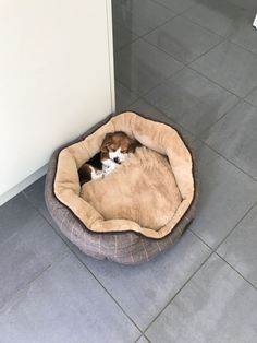 Are you interested in a Beagle? Well, the Beagle is one of the few popular dogs that will adapt much faster to any home. Whether you have a large family, p Cute Beagles, Cute Puppies, Dogs And Puppies, Cute Baby Animals, Animals And Pets, Funny Animals, Beagle Puppy, Baby Beagle, Pet Dogs