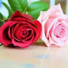 Red and pink rose.