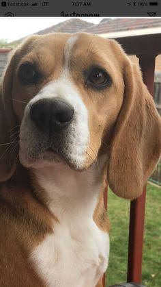 How to train a beagle ? by L&G PET What to do if the Beagle is not obedient? The owners of pet dogs hope that their dogs ca. Puppy Obedience Training, Basic Dog Training, Dog Training Videos, Training Dogs, Art Beagle, Beagle Puppy, Cute Beagles, Cute Dogs, Sweet Dogs