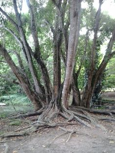 Árvore do Jardim Botânico ,João Pessoa Paraíba -Brasil