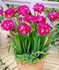 Another great find on #zulily! Purple Rain Fragrant Double Freesia Bulb - Set of 30 #zulilyfinds