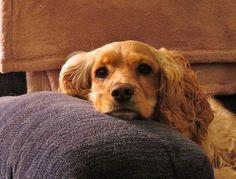 Todo lo que tienes que saber sobre el Cocker spaniel americano http://www.mascotadomestica.com/razas-perros/todo-lo-que-tienes-que-saber-sobre-el-cocker-spaniel-americano.html