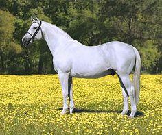 Schönfeld *E* 1981 Trakehner stallion (Meilenstein x Schönau II, Ordensglanz) Mare Family:  No. 27 - Dankeschön III 917