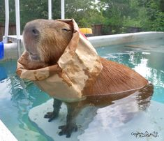 Don't be surprised when you find your capybara with a paper bag in the pool. They can be a little weird sometimes…but you know, like a good kind of weird.