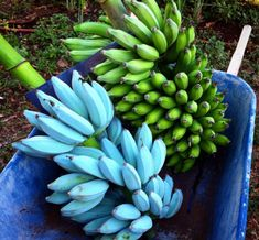 Blue Java banana The Blue Java is a hardy, cold tolerant banana cultivar known for its sweet aromatic fruit which is said to have an ice cream like consistency and flavor reminiscent of vanilla. Banana Plants, Fruit Plants, Fruit Garden, Fruit Trees, Bonsai Garden, Garden Trees, Fruit And Veg, Fruits And Vegetables, Java