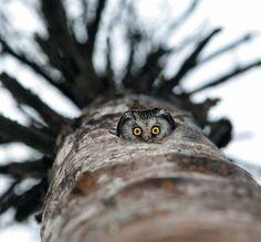 c  owl