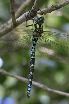 Hawker dragonfly in the garden #3 | Flickr - Photo Sharing!