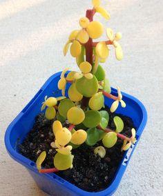 Portulacaria afra (Small leaf Golden Jade) - 'Aurea'