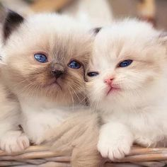 Kittens And Puppies, Cute Cats And Kittens, Baby Cats, Kittens Cutest, Pretty Cats, Beautiful Cats, Animals Beautiful, Beautiful Soul, Cute Cats Photos
