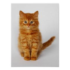 Customizable #Animal #Color#Image #Copy#Space #Cute #Domestic#Cat #Fluffy #Full#Length #Ginger#Cat #Kitten #London#England #No#People #One#Animal #Photography #Portrait #Sitting #Square #Striped #Studio#Shot #Uk #White#Background #Young#Animal Sweet Ginger Kitten Poster available WorldWide on http://bit.ly/2eUZm5C